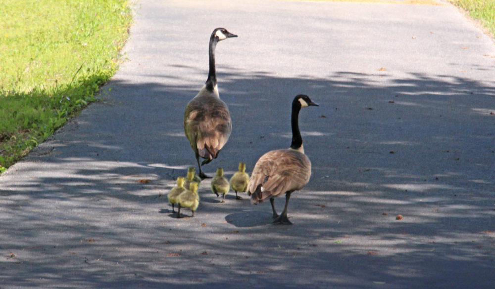 Canadian Geese family 4158