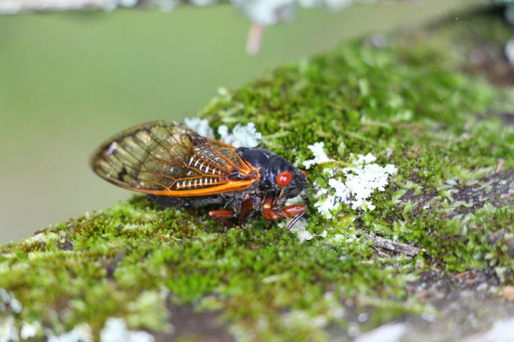 Cicada color
