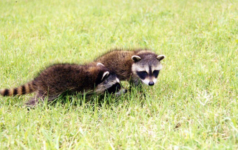 Film Wildlife Raccoons