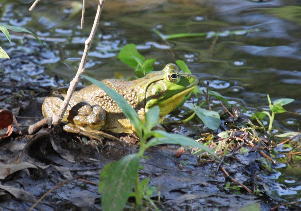 froggie 2706
