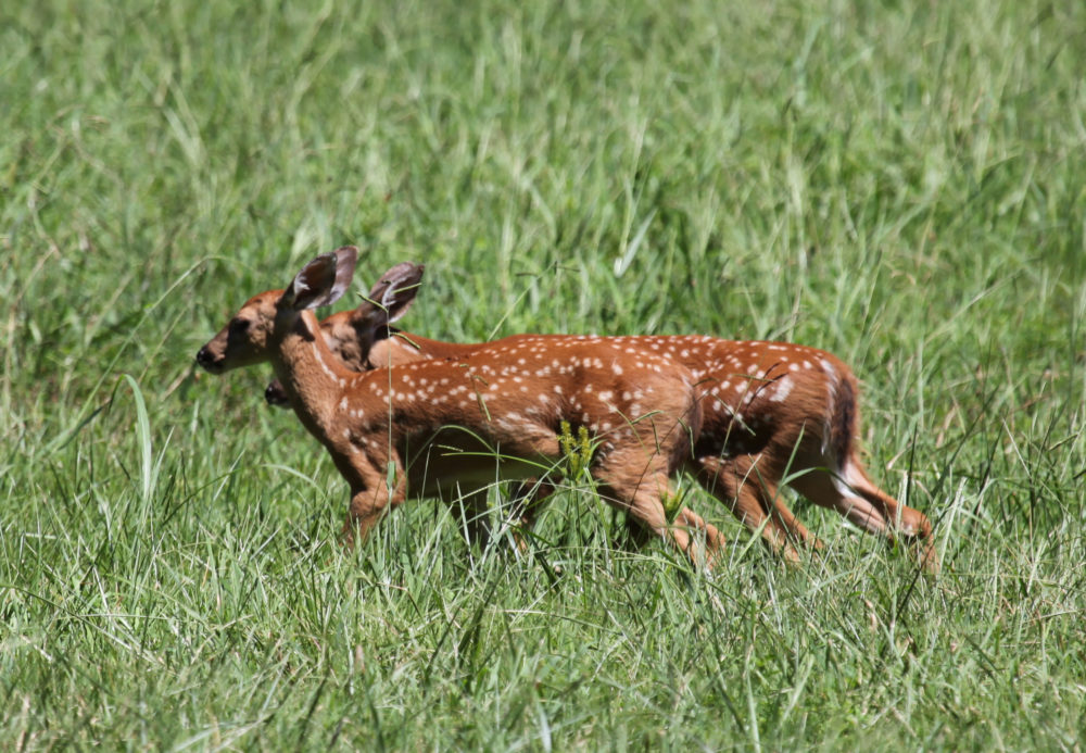 twin fawns-2